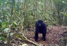 Photo of Cameroon Gov't Cancels Logging Concessions In The Biodiversity Rich Ebo Forest